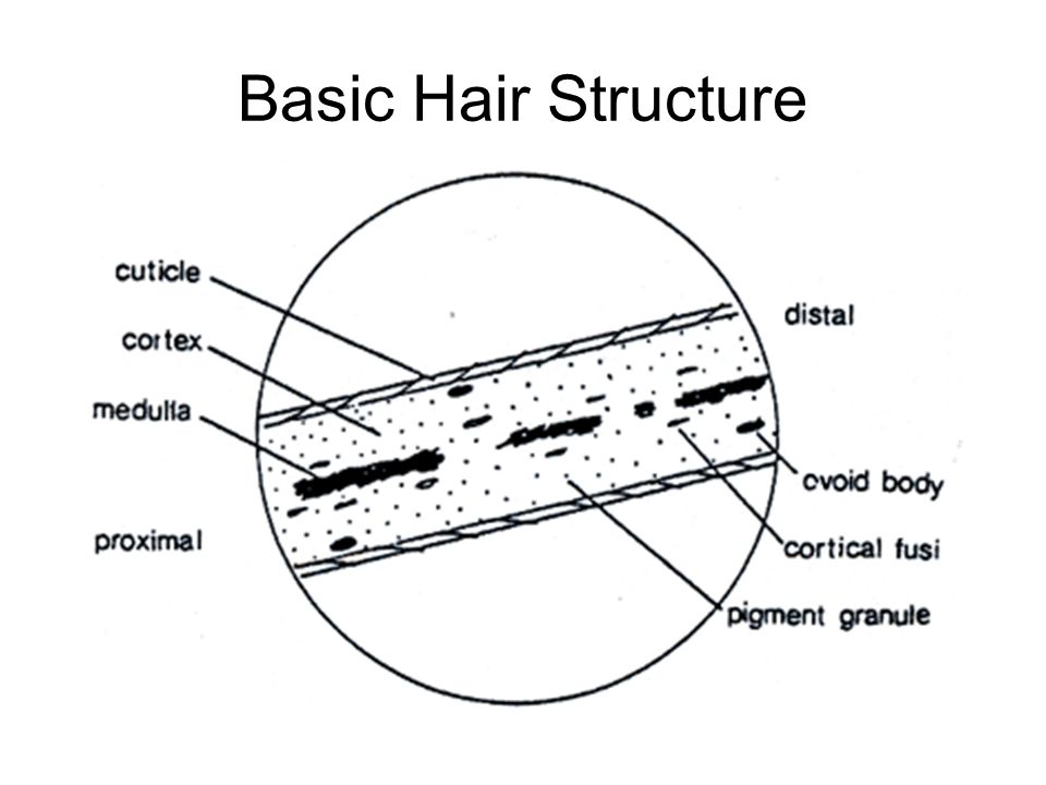Forensics Of Hair Analysis Objectives After Studying This Chapter You Should Be Able To Recognize And Understand The Cuticle Cortex And Medulla Areas Ppt Download