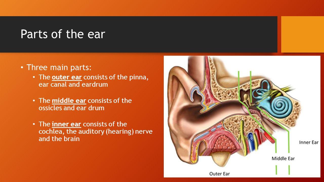 The Human Ear Fancy Sub Heading Parts Of The Ear Three Main Parts