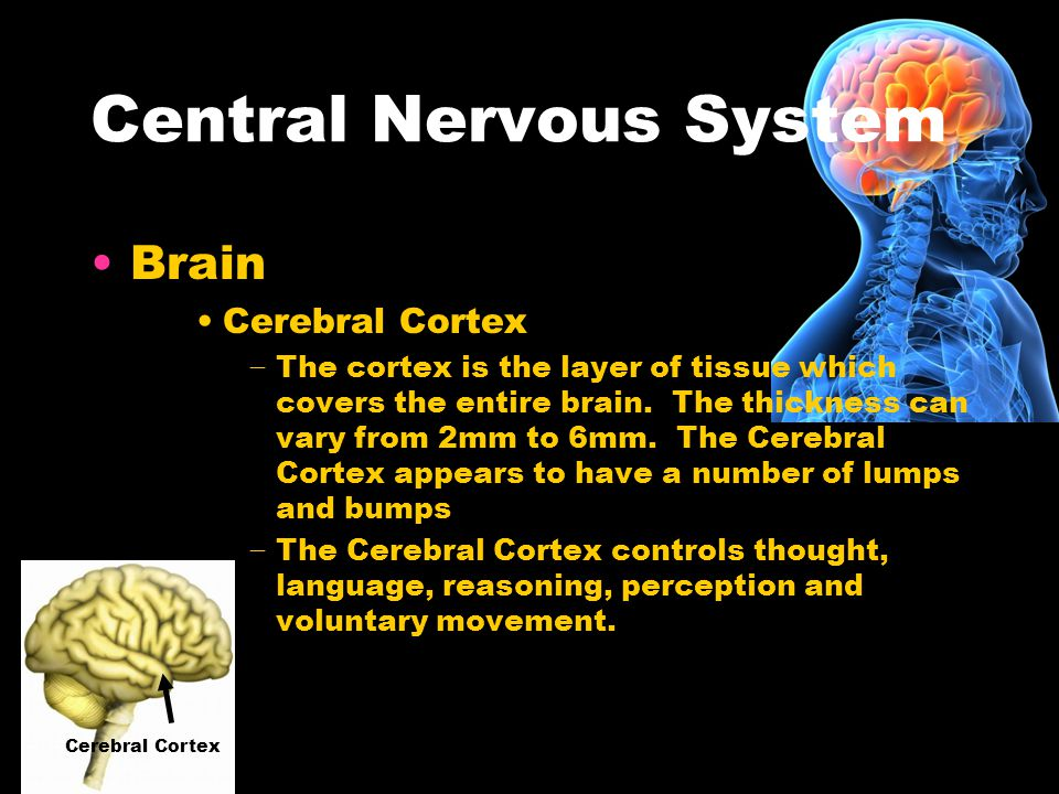 A Brain System That Appears To >> The Human Nervous System It Includes Central Nervous System And The