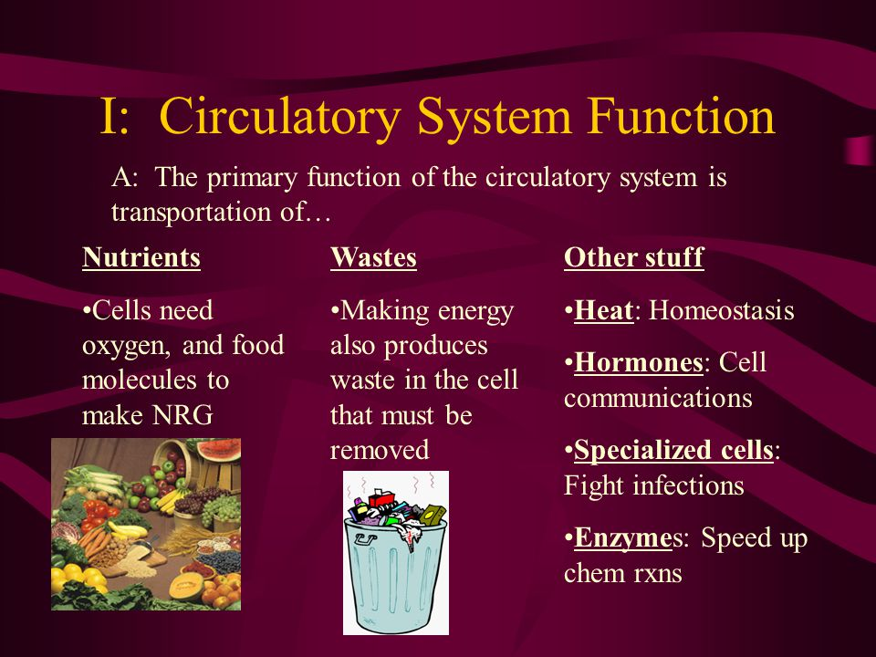 Circulatory And Respiratory Systems Function Of The Circulatory