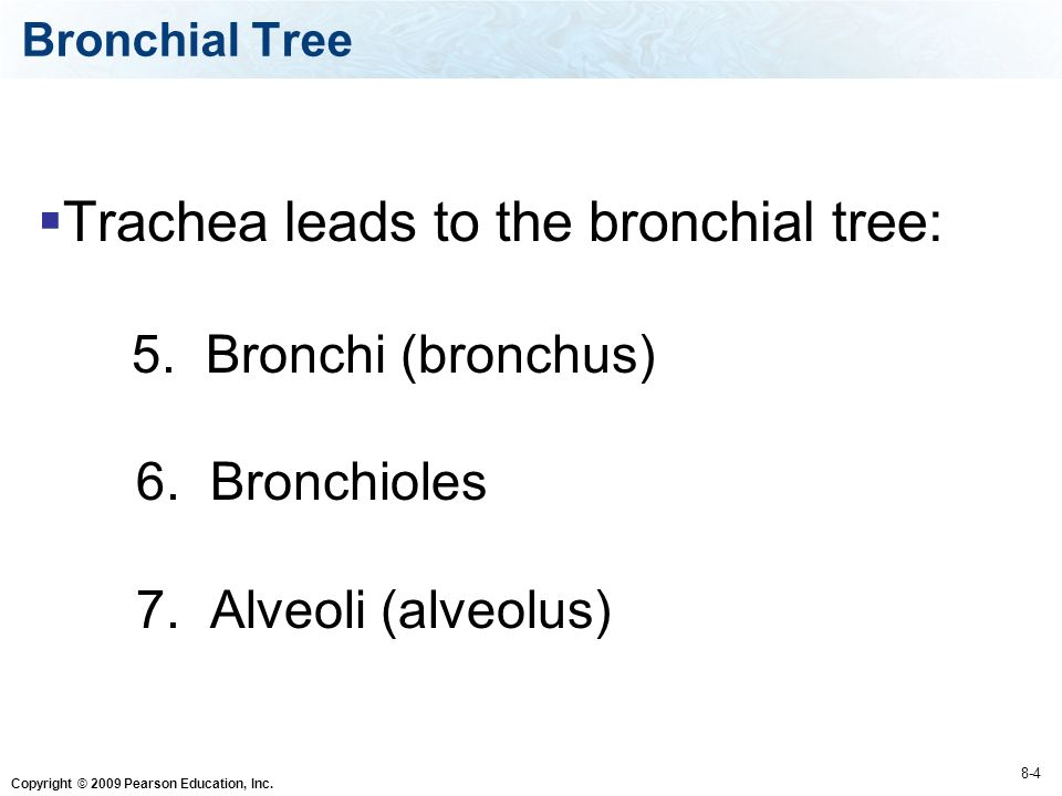 Copyright © 2009 Pearson Education, Inc.  Trachea leads to the bronchial tree: 5.