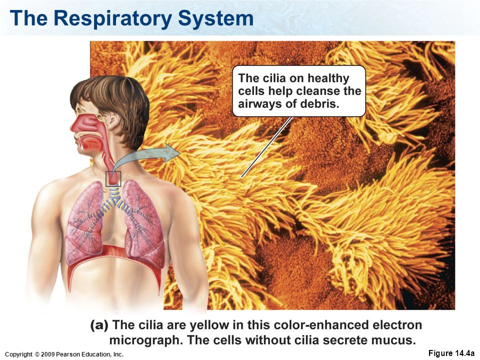 Copyright © 2009 Pearson Education, Inc. The Respiratory System Figure 14.4a