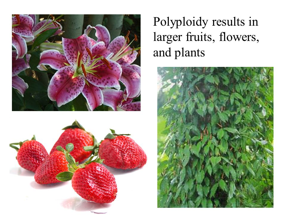 Polyploidy results in larger fruits, flowers, and plants
