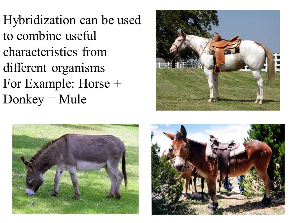 Hybridization can be used to combine useful characteristics from different organisms For Example: Horse + Donkey = Mule