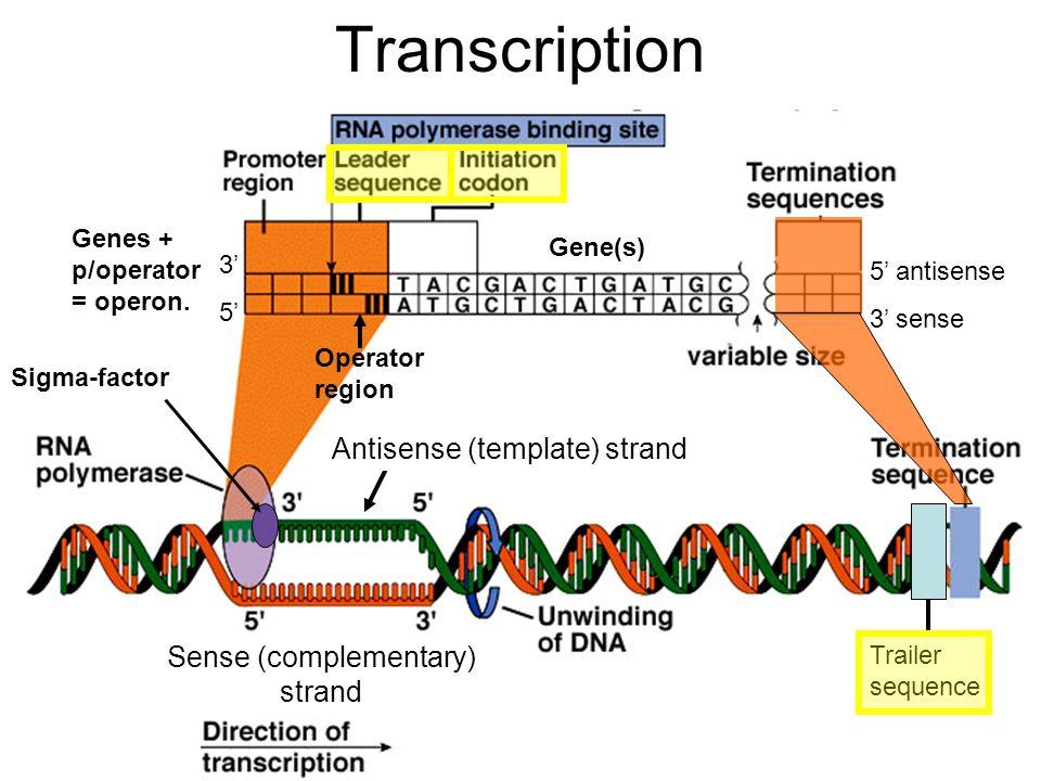 Transcription rna polymerase reads template dna strand to make 2 transcription maxwellsz