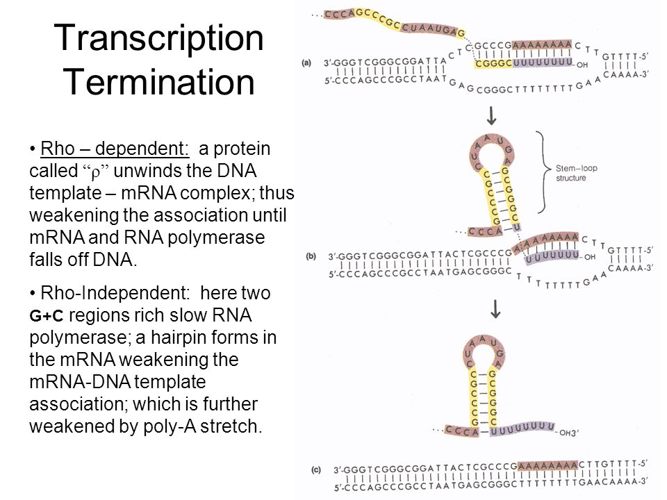 Transcription rna polymerase reads template dna strand to make transcription termination rho dependent a protein called unwinds the dna template mrna maxwellsz