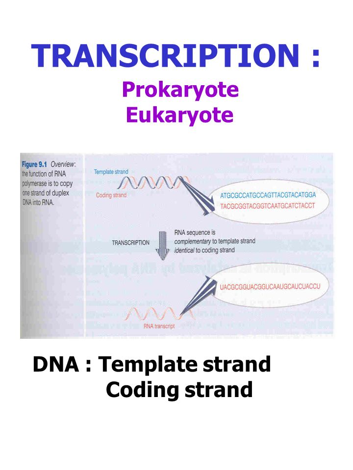 1 Transcription Prokaryote Eukaryote Dna Template Strand Coding