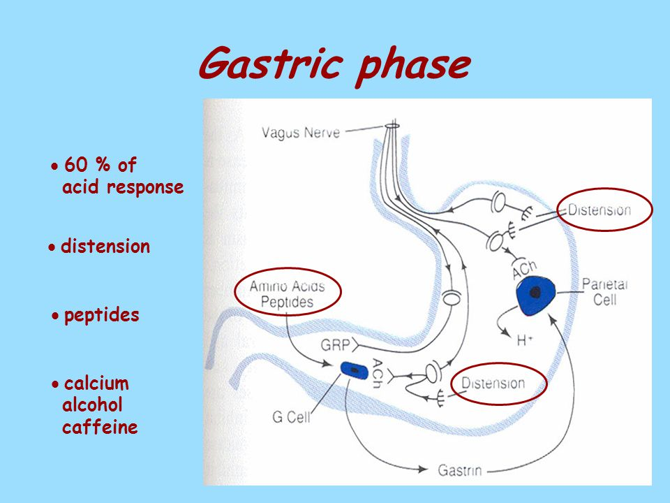 Gastric phase  60 % of acid response  distension  peptides  calcium alcohol caffeine