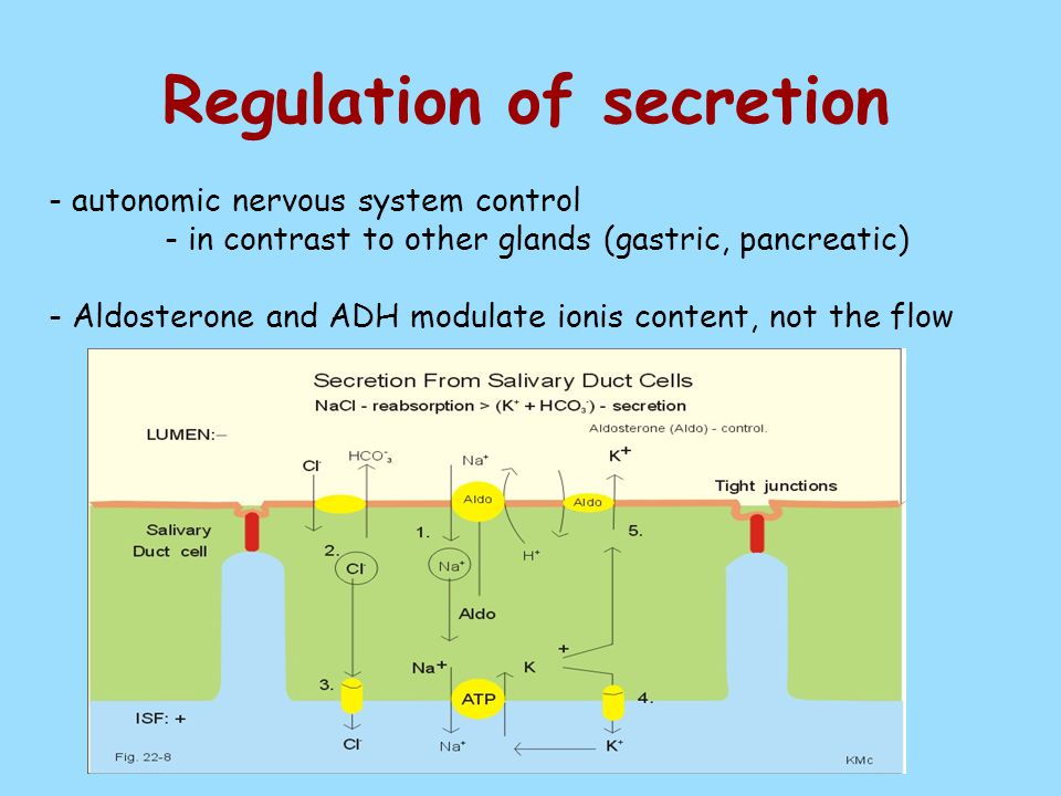 Regulation of secretion - autonomic nervous system control - in contrast to other glands (gastric, pancreatic) - Aldosterone and ADH modulate ionis content, not the flow