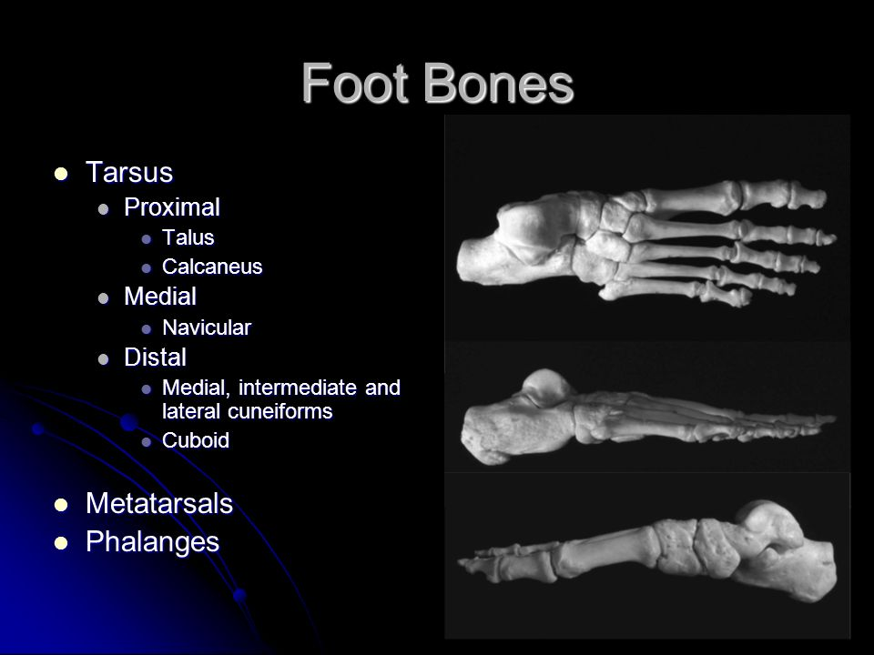 Anatomy of the Foot Long Nguyen. Exam q\'s With which bones does the ...
