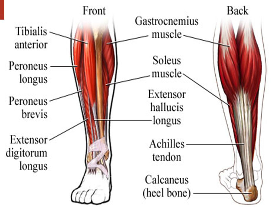 In Your Notebooks: List at least 9 bones of the foot and lower leg ...