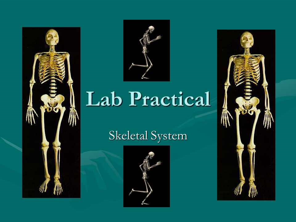 Lab Practical Skeletal System. #1. Name the longest bone in the body ...