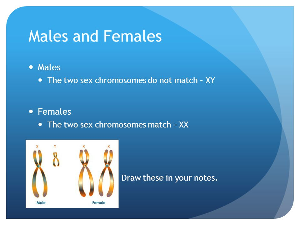 Males and Females Males The two sex chromosomes do not match – XY Females The two sex chromosomes match - XX Draw these in your notes.