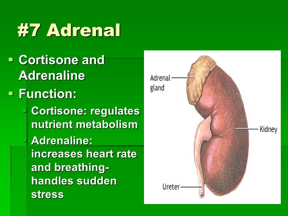  Cortisone and Adrenaline  Function:  Cortisone: regulates nutrient metabolism  Adrenaline: increases heart rate and breathing- handles sudden stress #7 Adrenal
