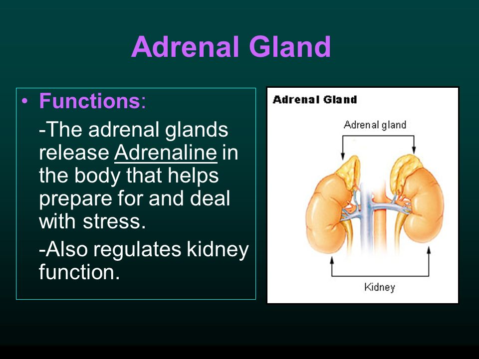 Adrenal Gland Functions: -The adrenal glands release Adrenaline in the body that helps prepare for and deal with stress.