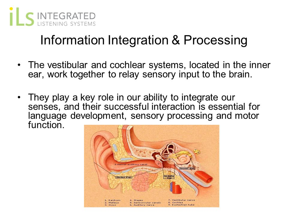 Information Integration & Processing The vestibular and cochlear systems, located in the inner ear, work together to relay sensory input to the brain.