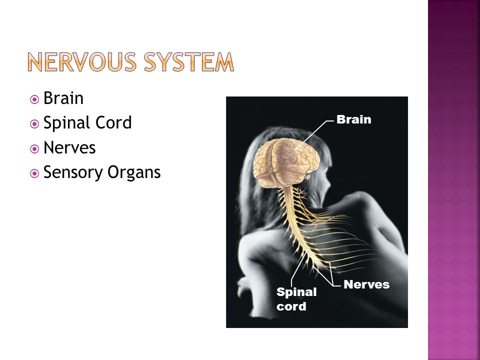  Brain  Spinal Cord  Nerves  Sensory Organs Brain Nerves Spinal cord