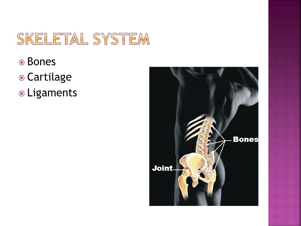  Bones  Cartilage  Ligaments Bones Joint