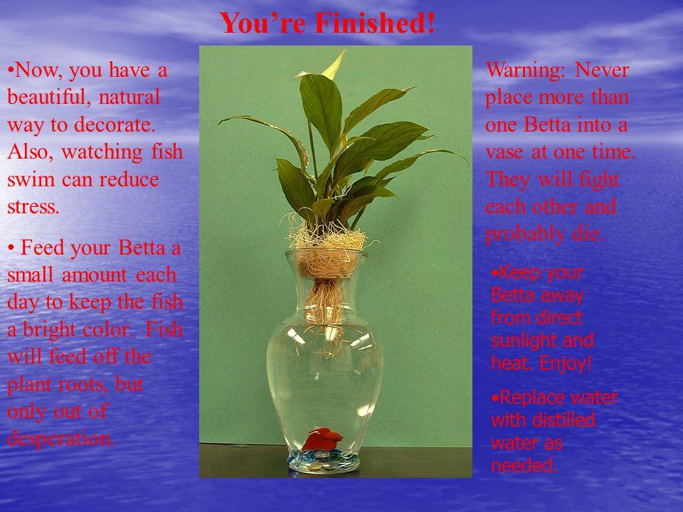 Creating A Betta Fish Vase Supplies Needed Colored Gemstones Fish