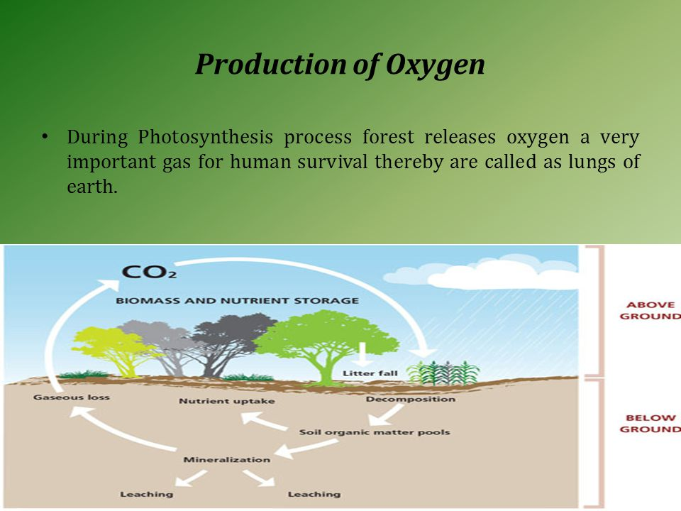 Production of Oxygen During Photosynthesis process forest releases oxygen a very important gas for human survival thereby are called as lungs of earth.