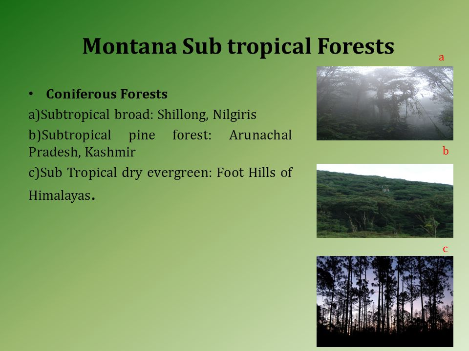 Montana Sub tropical Forests Coniferous Forests a)Subtropical broad: Shillong, Nilgiris b)Subtropical pine forest: Arunachal Pradesh, Kashmir c)Sub Tropical dry evergreen: Foot Hills of Himalayas.