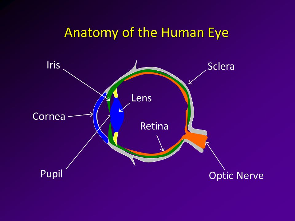 The Human Visual System The Eye Anatomy Of The Human Eye Cornea