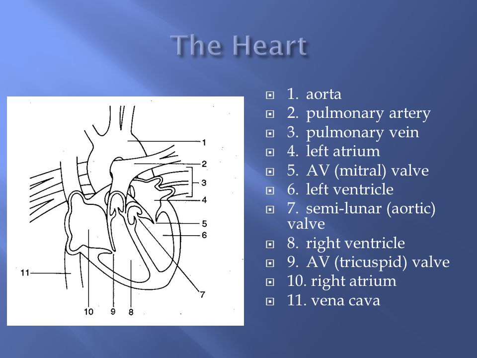  1.aorta  2.pulmonary artery  3.pulmonary vein  4.left atrium  5.AV (mitral) valve  6.left ventricle  7.semi-lunar (aortic) valve  8.right ventricle  9.AV (tricuspid) valve  10.