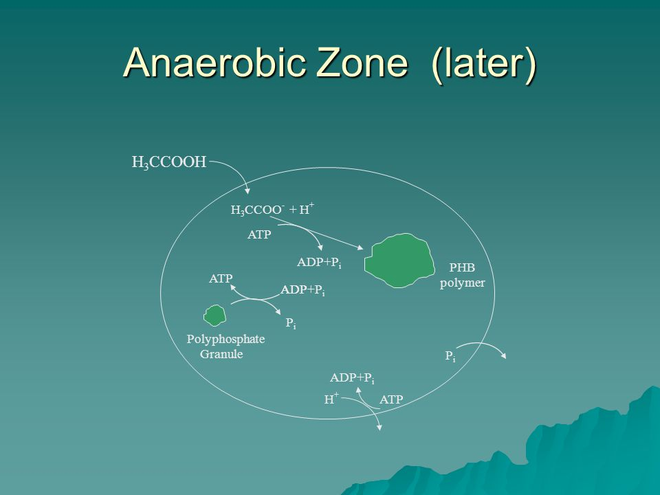 Anaerobic Zone (later) H 3 CCOOH H 3 CCOO - + H + H+H+ ATP Polyphosphate Granule PHB polymer PiPi ATP ADP ATP PiPi ADP+P i