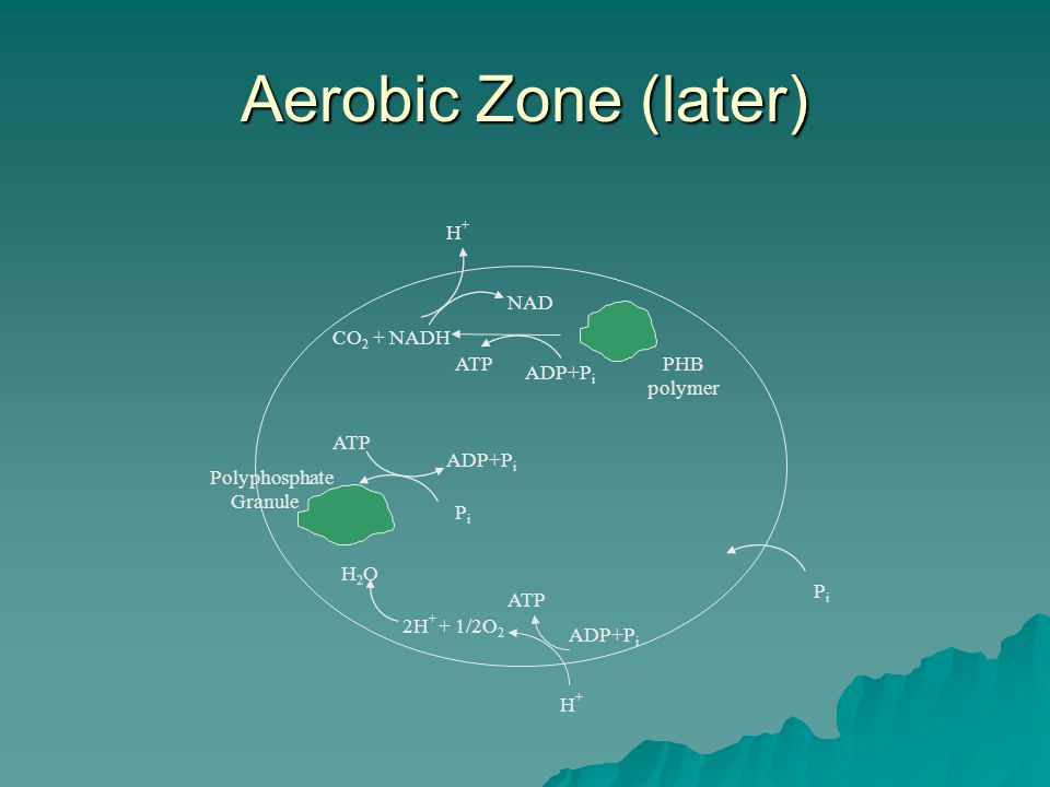 Aerobic Zone (later) H+H+ ADP+P i ATP Polyphosphate Granule PHB polymer PiPi ATP PiPi CO 2 + NADH 2H + + 1/2O 2 H2OH2O ADP+P i NAD H+H+