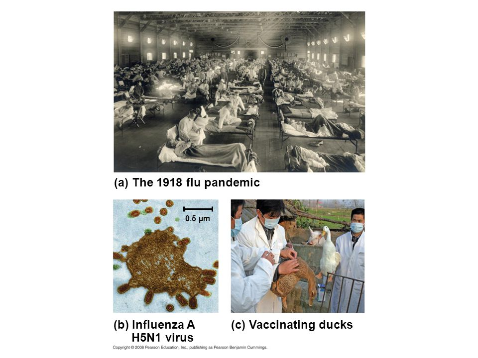 (a) The 1918 flu pandemic (b) Influenza A H5N1 virus (c) Vaccinating ducks 0.5 µm