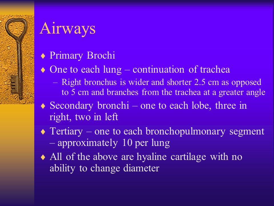  Primary Brochi  One to each lung – continuation of trachea –Right bronchus is wider and shorter 2.5 cm as opposed to 5 cm and branches from the trachea at a greater angle  Secondary bronchi – one to each lobe, three in right, two in left  Tertiary – one to each bronchopulmonary segment – approximately 10 per lung  All of the above are hyaline cartilage with no ability to change diameter