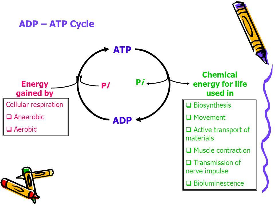 Atp Adenosine Triphosphate It Is The Universal Immediate Source Of