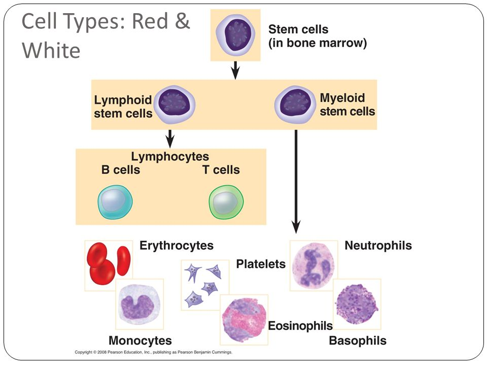 Cell Types: Red & White