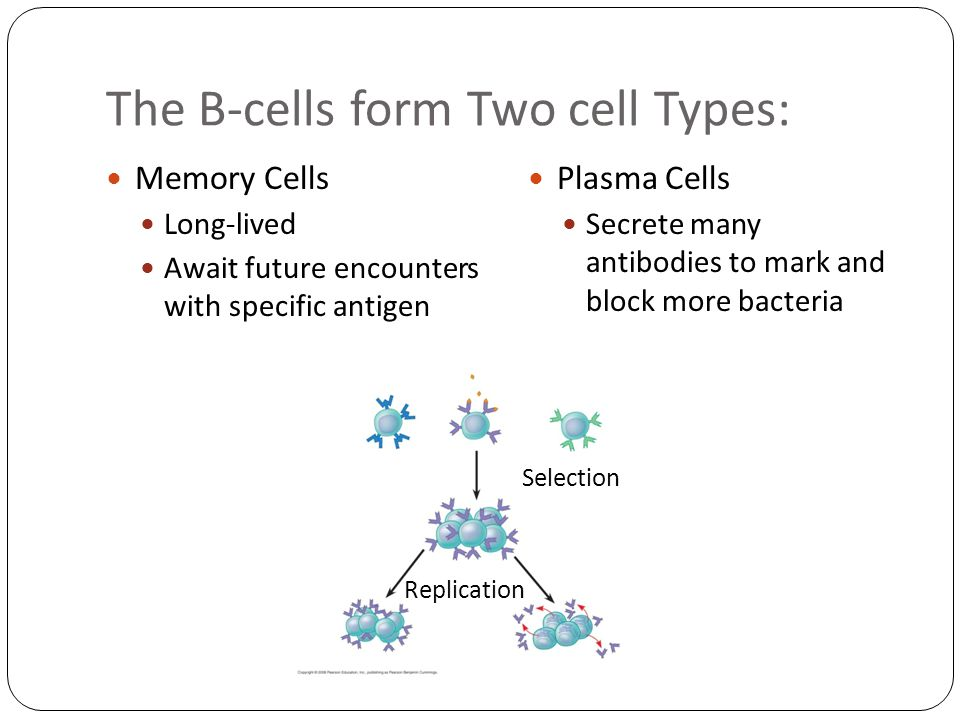 The B-cells form Two cell Types: Memory Cells Long-lived Await future encounters with specific antigen Plasma Cells Secrete many antibodies to mark and block more bacteria Selection Replication