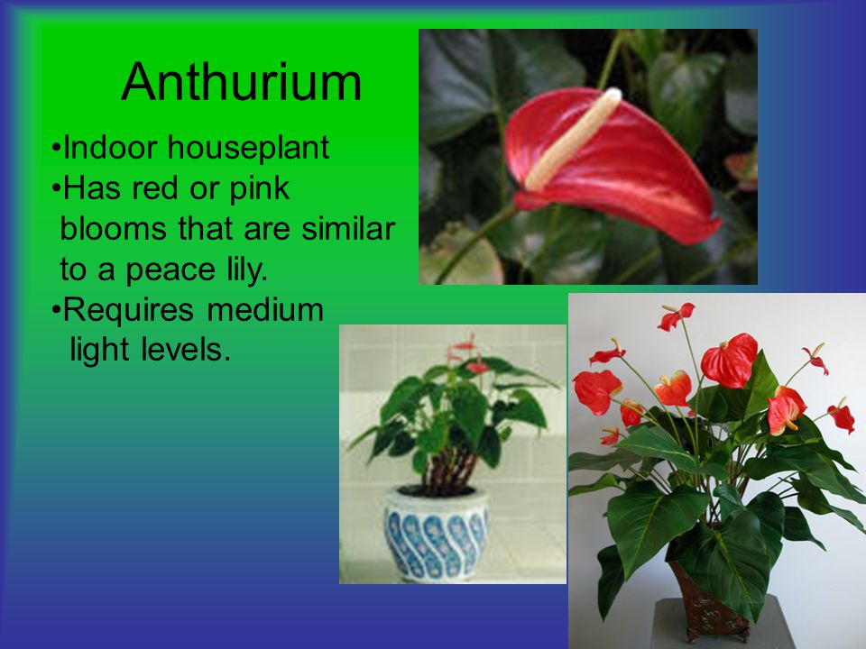 Red Peace Lily House Plant on low light zz plant, philodendron house plant, lily of the valley plant, spathiphyllum plant, chinese evergreen indoor plant, peace prayer lily plant, lily with beta fish plant, red with a lily like plant bloom, wedding peace lily plant,