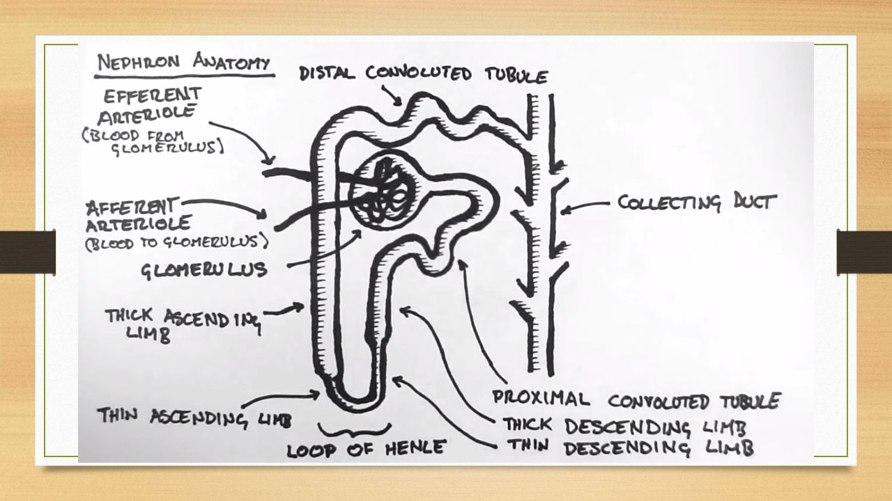Renal Anatomy -Surag Khadka. Contents Anatomy of the Kidney Anatomy ...