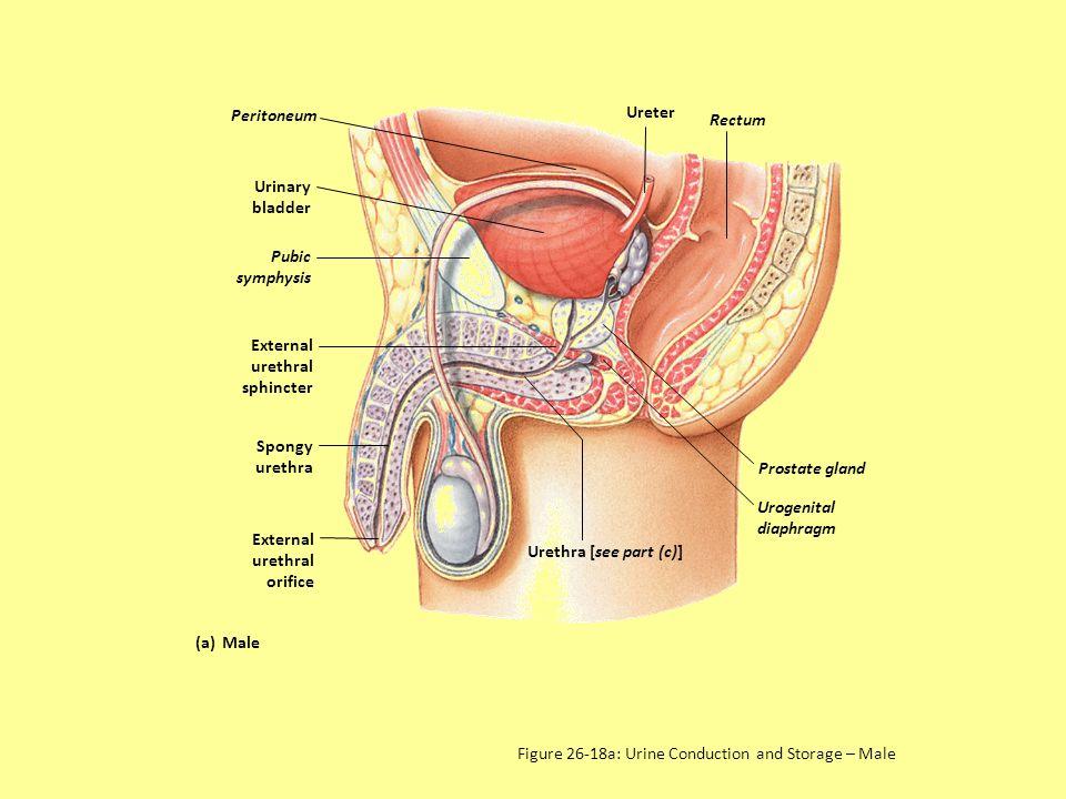 Ureter Diagram Male - Wiring Diagram Ops