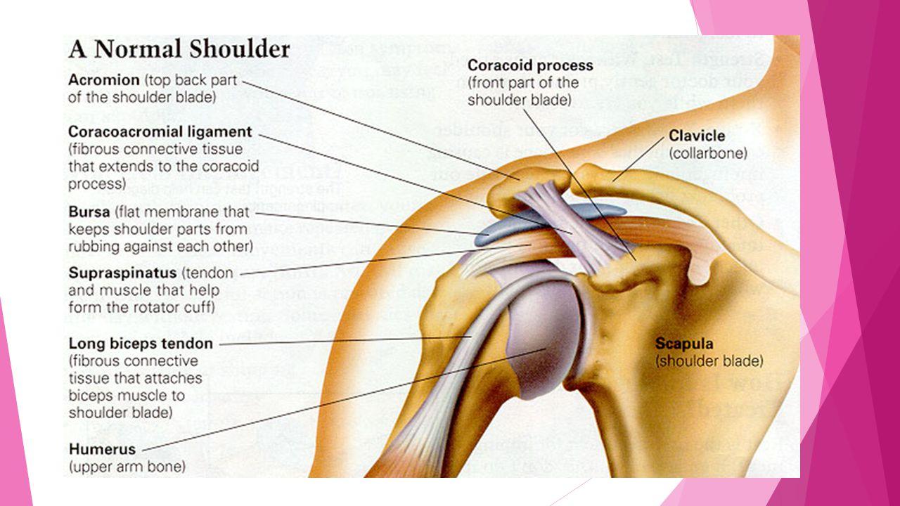Shoulder Joint Glenohumeral joint. Shoulder joint  Most movable ...