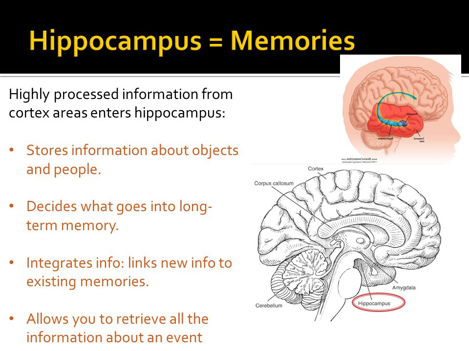 Enables Communication Between The Two Hemispheres Of The Brain