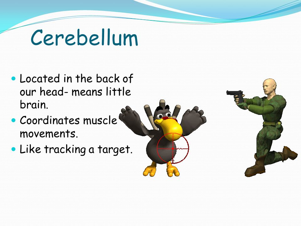 Cerebellum Located in the back of our head- means little brain.