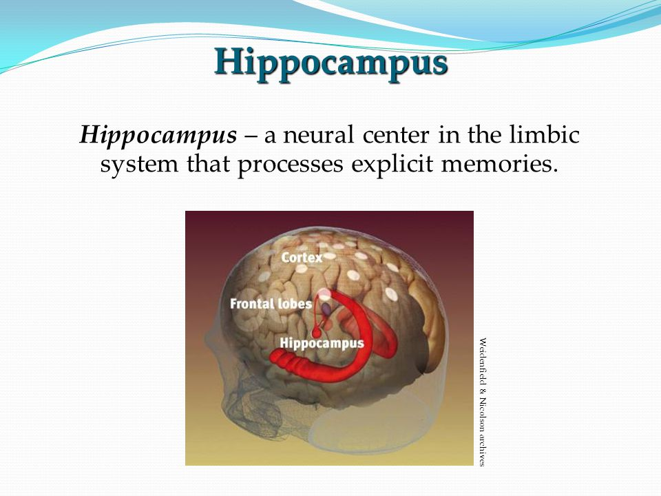 Hippocampus Hippocampus – a neural center in the limbic system that processes explicit memories.