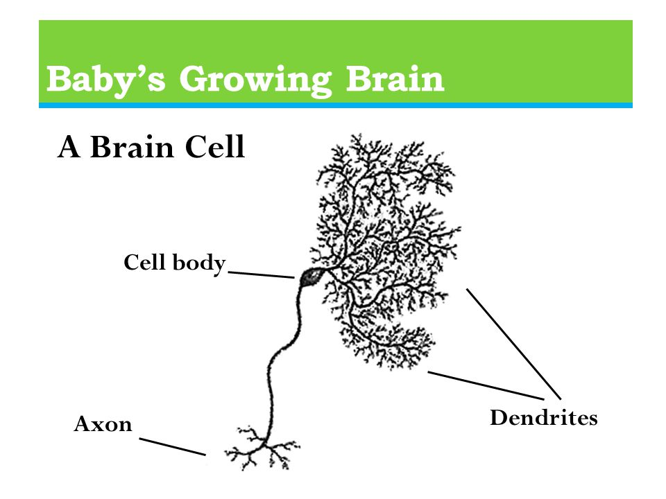Baby's Growing Brain A Brain Cell Dendrites Axon Cell body