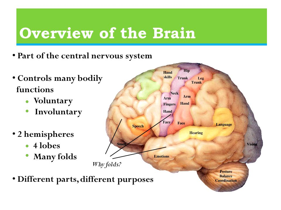 Overview of the Brain Part of the central nervous system Controls many bodily functions Voluntary Involuntary 2 hemispheres 4 lobes Many folds Different parts, different purposes Why folds