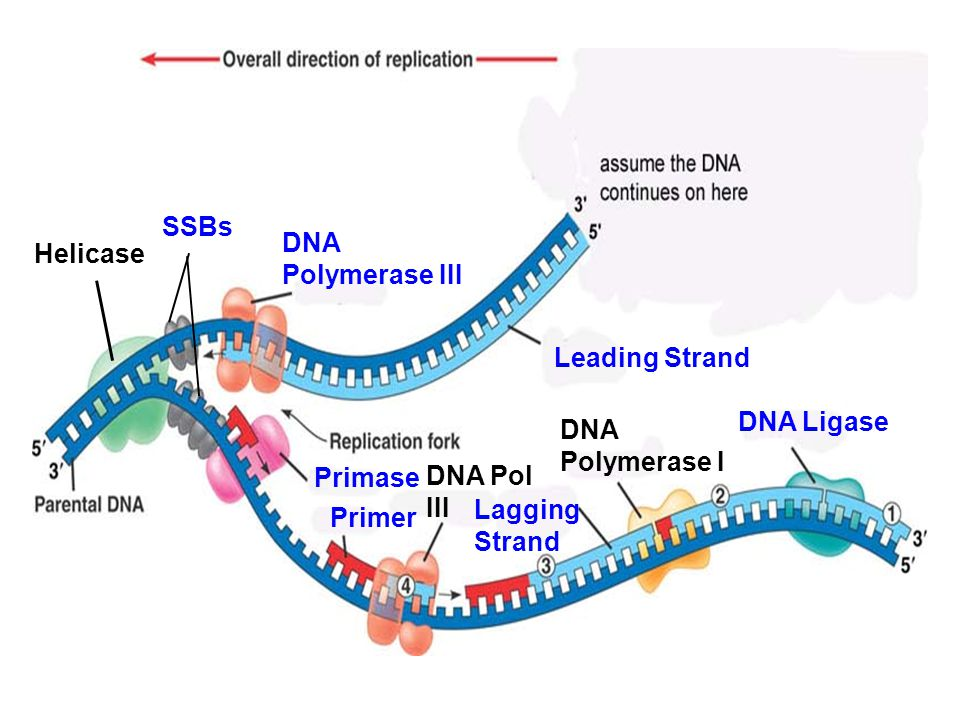 all together label the diagram on page 67 with the following terms:  -ssbs- dna ligase -leading strand- lagging strand -helicase- primase -dna  polymerase