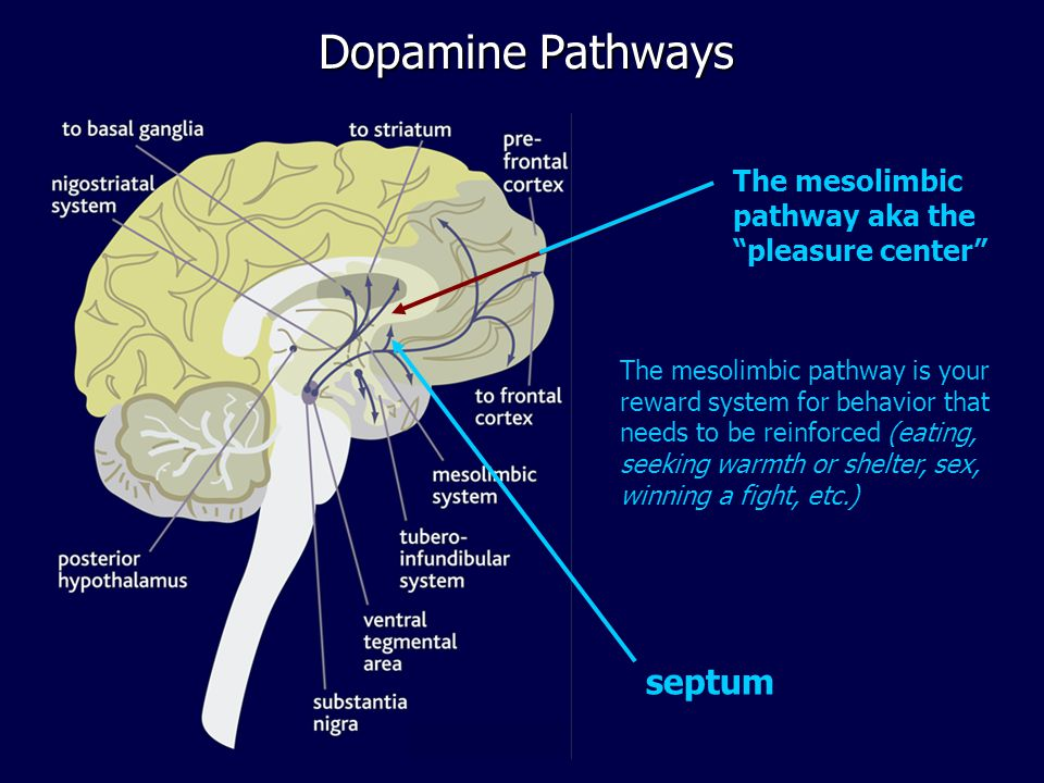 Pleasure Center Brain Diagram - Schematics Wiring Diagrams •