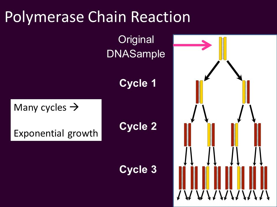 Polymerase Chain Reaction Cycle 1 Original DNASample Cycle 2 Cycle 3 Many cycles  Exponential growth