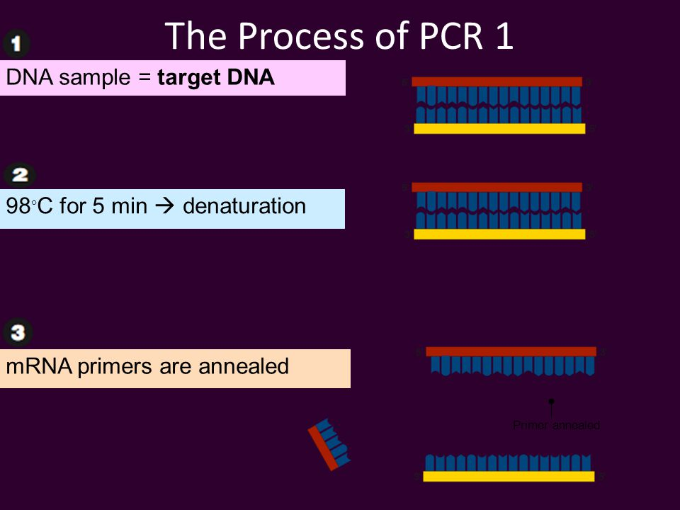 The Process of PCR 1 Primer annealed DNA sample = target DNA 98  C for 5 min  denaturation mRNA primers are annealed