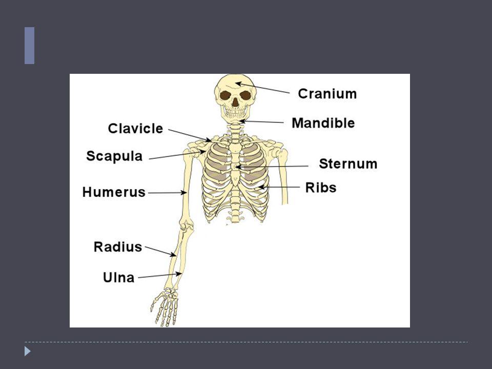 Human Bones Upper Body The Skull Cranium The Cranium Is A Skull