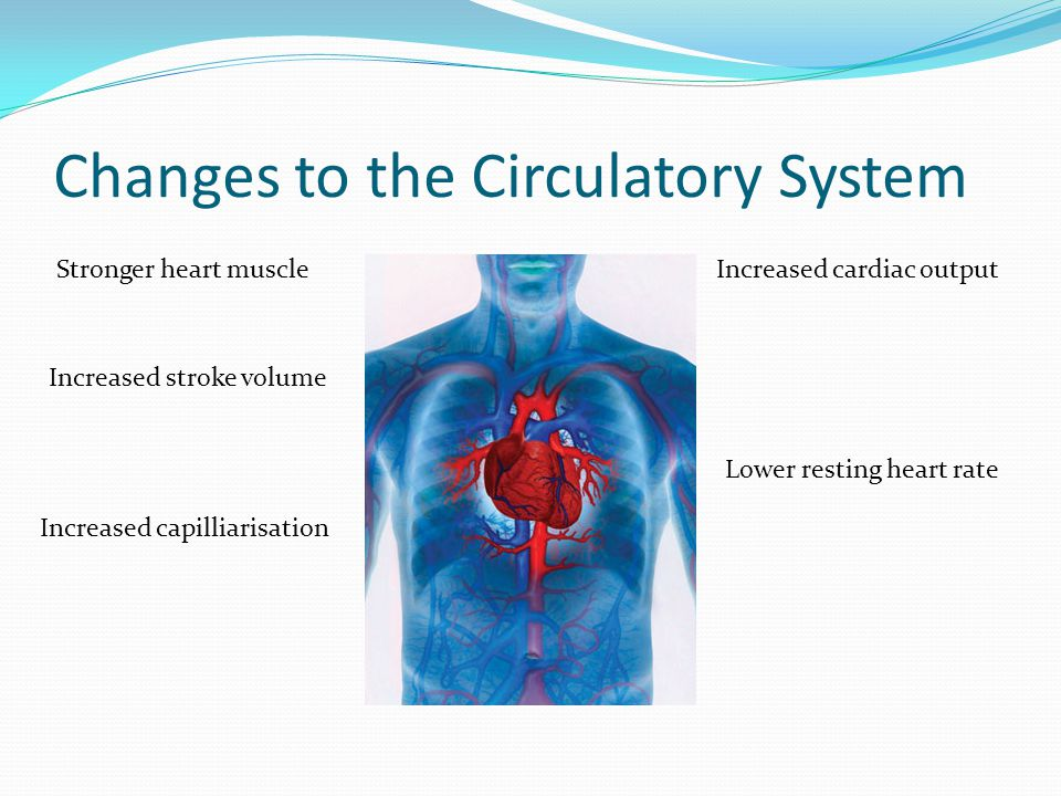 Changes to the Circulatory System Stronger heart muscle Increased stroke volume Increased cardiac output Lower resting heart rate Increased capilliarisation