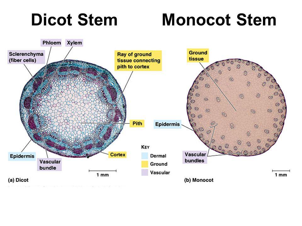 Plant Structure Willow shoot. Plant Parts Monocot vs Dicot. - ppt ...